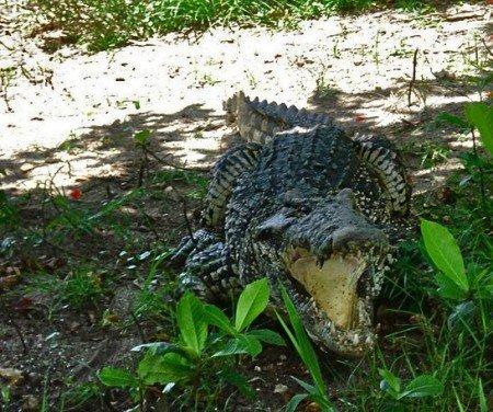 Allevamento coccodrilli, Cuba