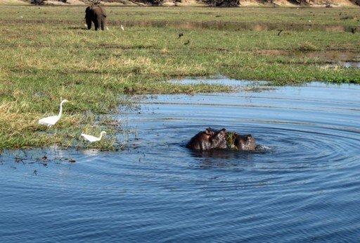 Ippopotamo e elefante