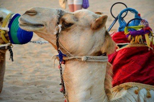 dubai, deserto - cammello