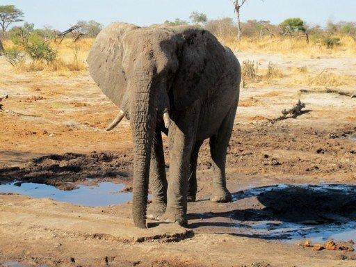 Elefante africano - Elephant Sands