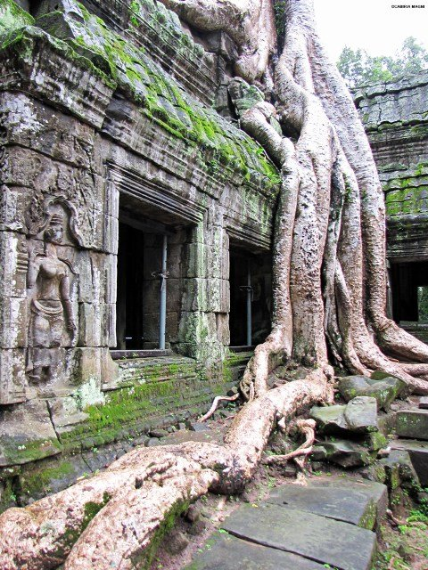 Roots in Ta Prohm