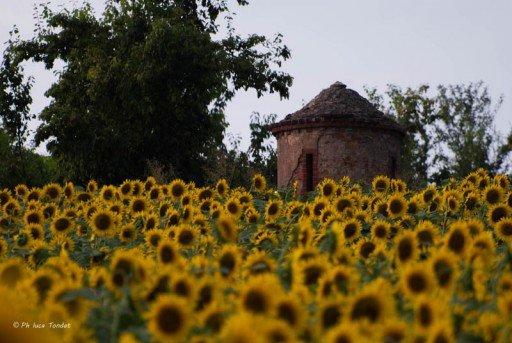 campo girasoli Monferrato