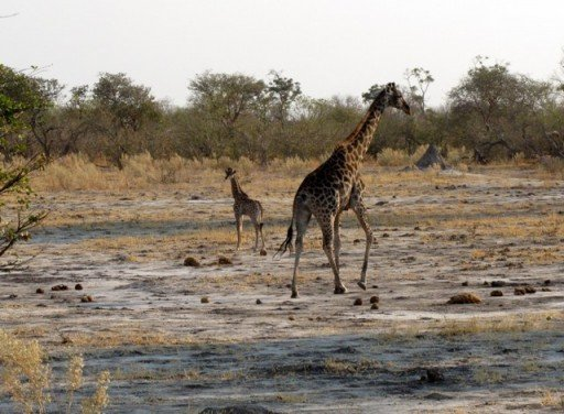 Giraffe Moremi Game Reserve