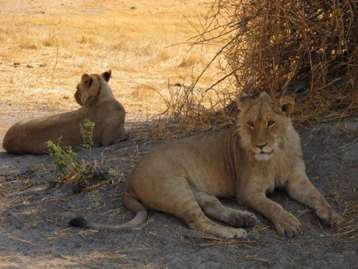 Leoni, Moremi Game reserve