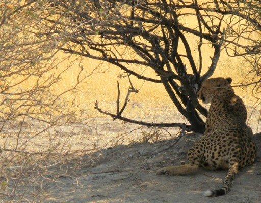 Ghepardo, Moremi Game reserve