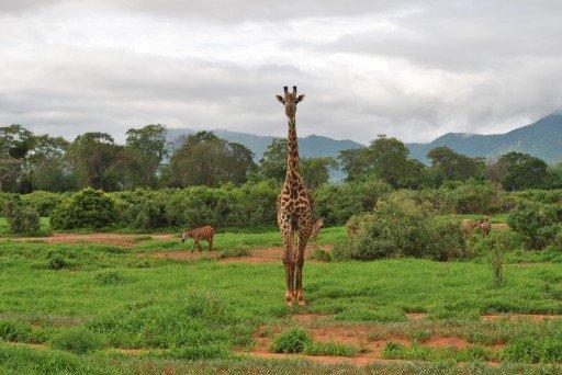 giraffa_2