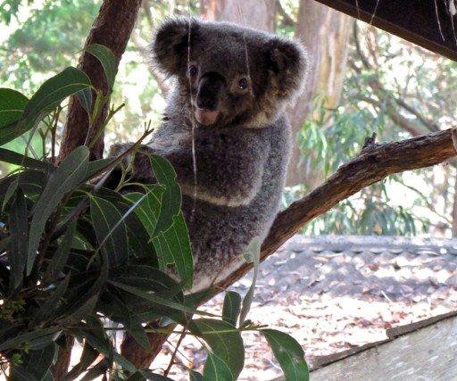Australia Koala hospital