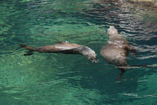 Isla dell'Espiritu Santo leoni marini