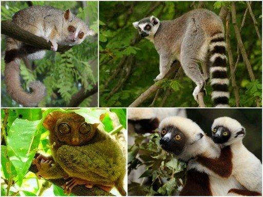 nosy-komba_lemuri_collage