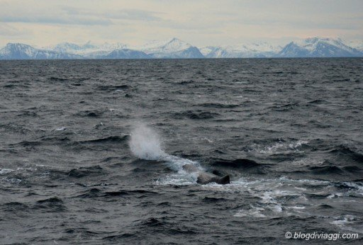 whale watching Norvegia