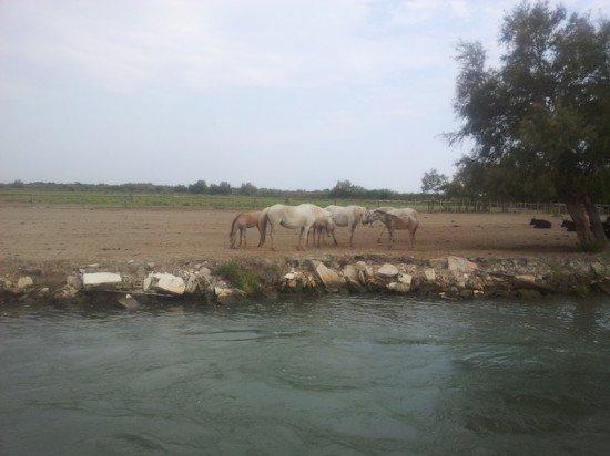 cavalli bianca spiaggia francia