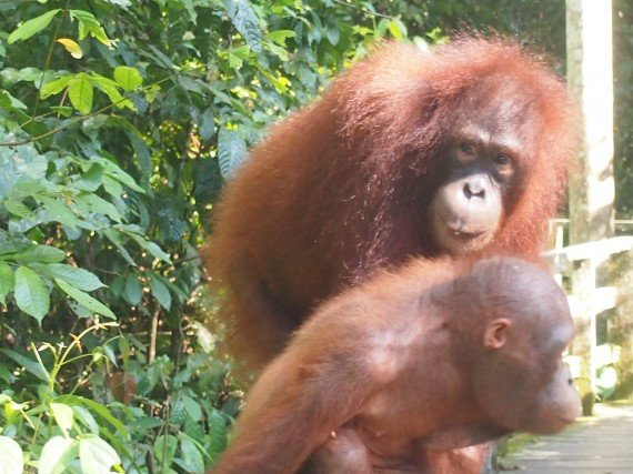 Sabah Borneo Malese