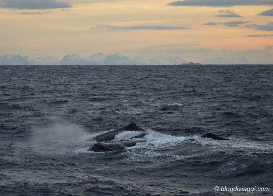 whale watching in Norvegia