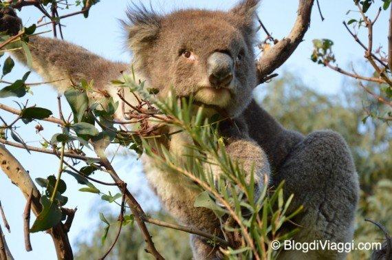 Koala Great Ocean Road