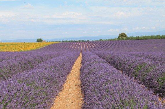 campi lavanda Provenza Francia
