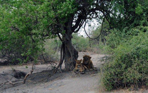 safari fotografico nel parco chobe