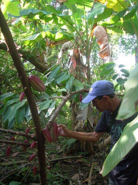 finca di cacao. il seme
