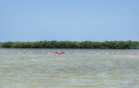 fenicotteri biosfera naturale di celestun, yucatan - messico