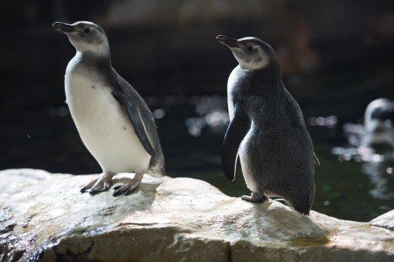 coppia di pulcini di pinguino di Magellano