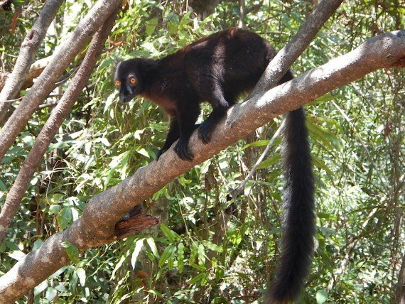 Lemure arcipelago di Nosy Be, Madagascar