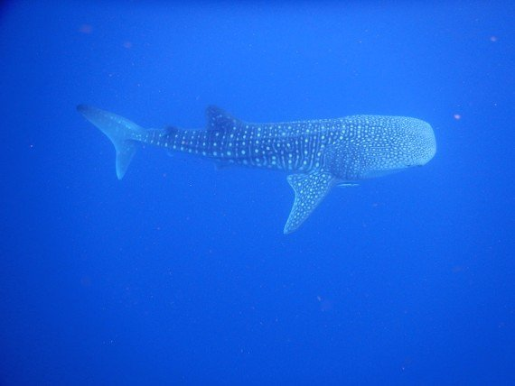 immersioni squalo balena arcipelago di Nosy Be, Madagascar