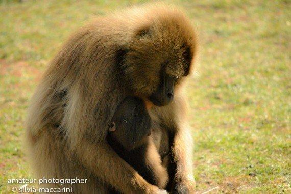Etiopia ( scimmia