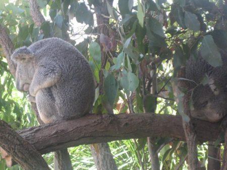 koala_web