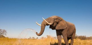 ruaha-elefante