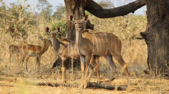 ruaha-kudu