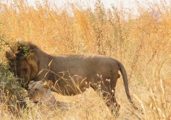 ruaha-leoni safari