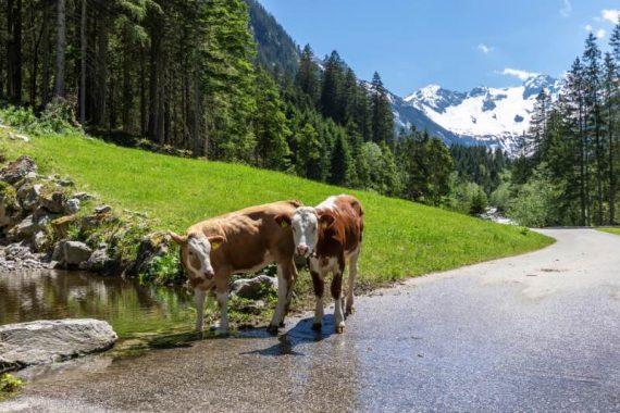 Mucche in Tirolo